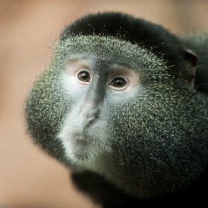 Face of a blue monkey
